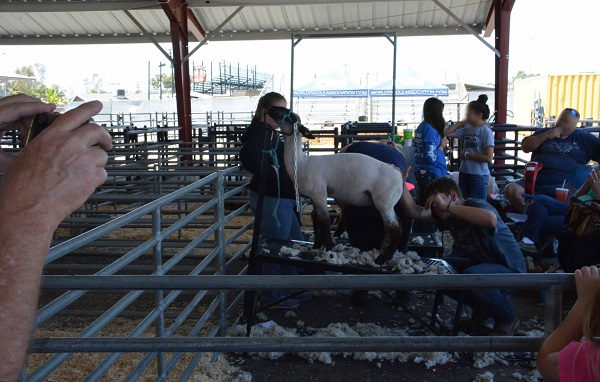 spectators take pictures of sheep shearing